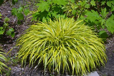 "Variegated Golden Japanese Forest Grass - Hakonechloa aureola - 2.5"" Pot"