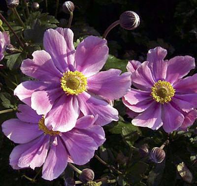"""September Charm Japanese Anemone - Windflower - Fall Flowering - 2.5"""" Pot"""