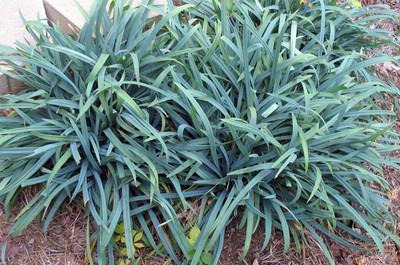 "Bunny Blue® Hobb Carex Sedge Grass - Carex laxiculmis - 4"" Pot"