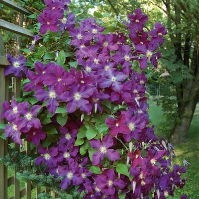 """Etoile Violette Clematis Vine - Deep Purple - 2.5"""" Pot"""