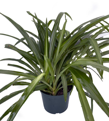 """Shamrock Green Spider Plant - Easy to Grow - Cleans the Air - 6"""" Pot"""