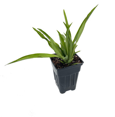 """Shamrock Green Spider Plant - Easy to Grow - Cleans the Air - 2.5"""" Pot"""