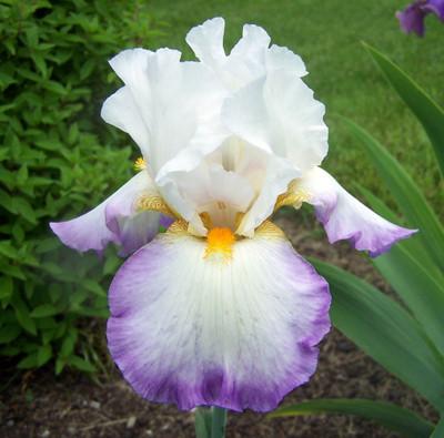 Starting Fresh Bearded Iris - One Top Size Rhizome