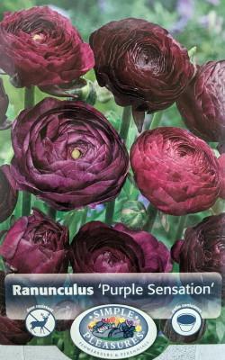 Purple Sensation Persian Buttercup 10 Bulbs 8/+cm - Ranunculus Tecolote - Hardy
