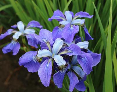 Painted Desert Siberian Iris - Top Size Rhizome - Stunning