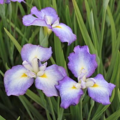 Picotee Wonder Siberian Iris - Purple/White - Top Size Rhizome