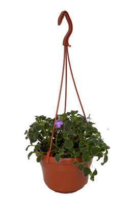 "Boysenberry Delight Cape Primrose Plant - Streptocarpella - 6"" Hanging Basket"