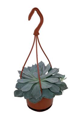 "Canadian Succulent Plant - Echeveria - 4"" Mini Hanging Basket"
