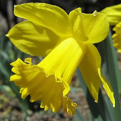Dutch Master Daffodil 50 Bulbs - 14/16 cm Bulbs - Value Bag