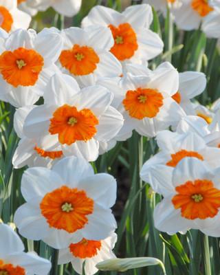 Geranium Tazetta Daffodil/Narcissus - 8 Bulbs - 14/16 cm Bulbs