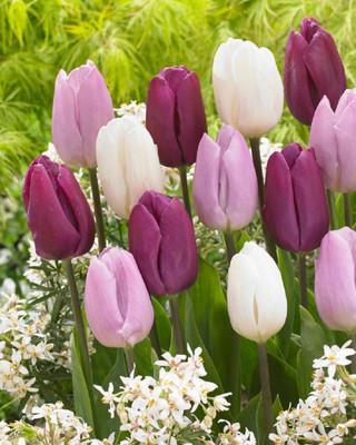 Dutch Prince Mix Tulips 25 Bulbs - 12/+ cm - Value Size