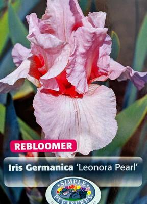 Lenora Pearl Bearded German Iris - REBLOOMER - Top Size Root