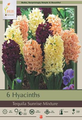 Tequila Sunrise Mix Hyacinth 6 Bulbs - Fragrant - 15/16 cm Bulbs