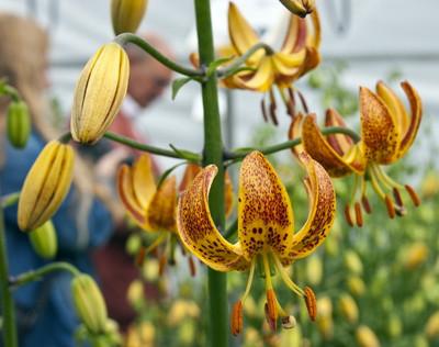 Sunny Morning Turks Cap Lily Bulb 2 Bulbs -Lilium martagon-Hardy- 14/16cm Bulbs