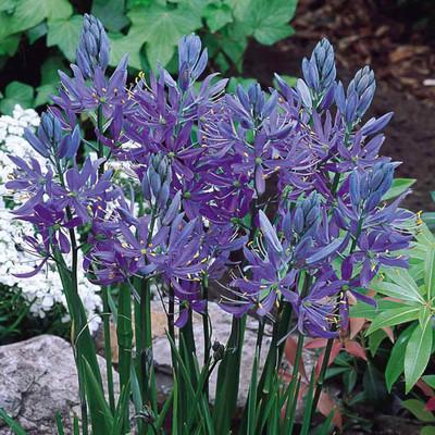 Blue Camassia 10 Bulbs - Camassia esculenta - Hardy! - 6/+ cm