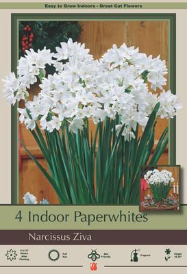 Ziva Paperwhite Narcissus - 4 Bulbs - 15/17 cm Bulbs - Indoor/Very Fragrant