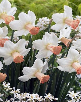 Skype Daffodil - 10 Bulbs - White with Apricot Cups - 10/12 cm Bulbs