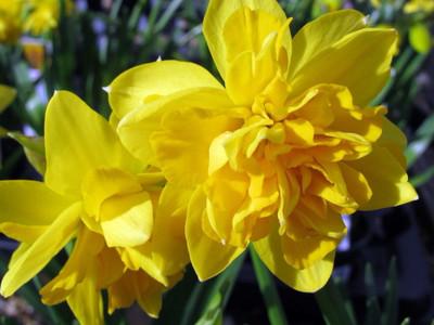 Double Tete a Tete Narcissus/Daffodil 5 Bulbs - 12/14 cm Bulbs