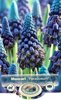 Ocean Blues Paradoxum Grape Hyacinth 15 Bulbs - 6/+cm - Muscari