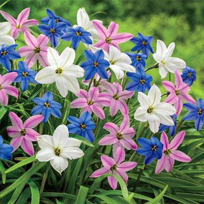 Starflowers Mix 15 Bulbs 4/+ cm Bulbs - Very Hardy - Ipheion uniflorum