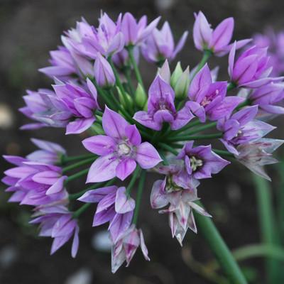 Eros Allium - Ornamental Onion - 15 Bulbs - 6/+ cm Bulbs