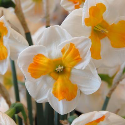 Tricollet Butterfly Daffodil - 5 Bulbs 14/16 cm Bulbs- White & Orange