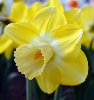 Avalon Daffodil 5 Bulbs - 14/16 cm Bulbs - Lemon/Yellow/Milky White