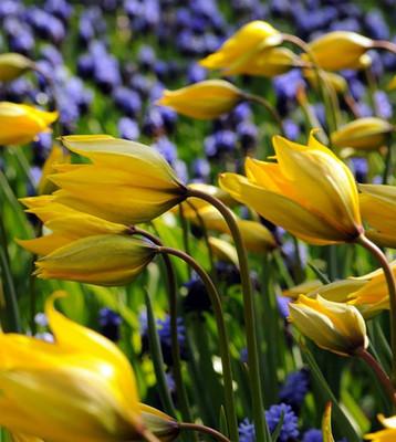 Woodland Tulip sylvestris 10 Bulbs - 4/5 cm - Hardy - Forest/Florentine Tulip