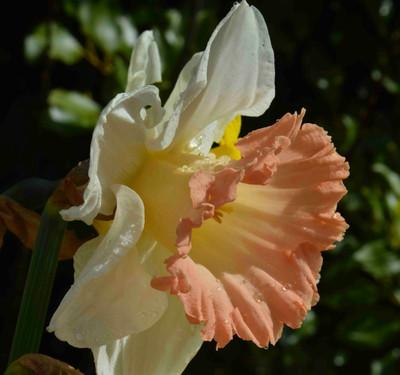 British Gamble Trumpet Daffodil 5 Bulbs 14/16 cm - White & Pink