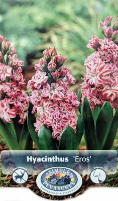 Double Eros Hyacinth 3 Bulbs - 15/16 cm Bulbs - Fragrant!