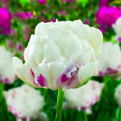 Ice Wonder Peony Flowered Tulip 6 Bulbs - 11/12 cm Bulbs - Lush, Double Flowers