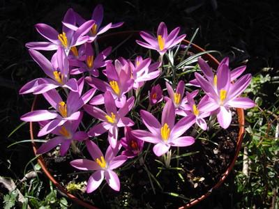Roseus Snow Crocus 10 Bulbs - Very Hardy! - 5/+ cm Bulbs