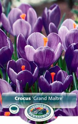 Grand Maitre Giant Crocus 15 Bulbs - Large Lavender Blue - 8/9 cm Bulbs