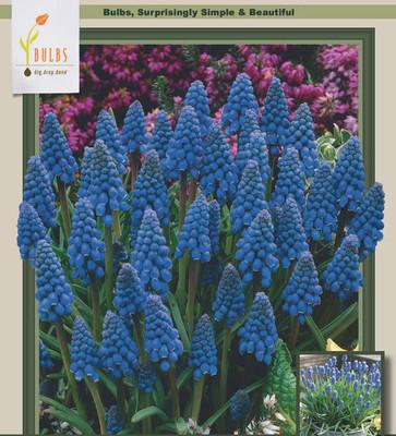Blue Grape Hyacinth 20 Bulbs - Muscari armeniacum - 9/10 cm Bulbs