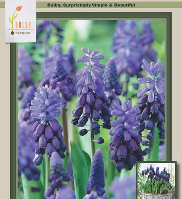 Two Tone Grape Hyacinths - 20 Bulbs - Muscari latifolium - 6/+ cm Bulbs