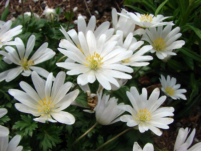 White Windflower 10 Bulbs - Anemone White Splendour- Hardy! 5/+ cm Bulbs