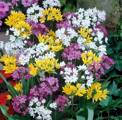 Mountain Bells Allium Mix - 30 Bulbs - A Rainbow of Color - 4/+ cm Bulbs