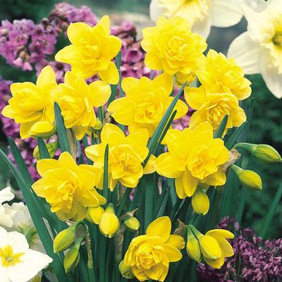 Golden Ducat Double Narcissus/Daffodil 5 Bulbs - 14/16 cm Bulbs
