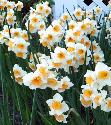 Yazz Jonquillas Daffodil 10 Bulbs - 12/14 cm Bulbs