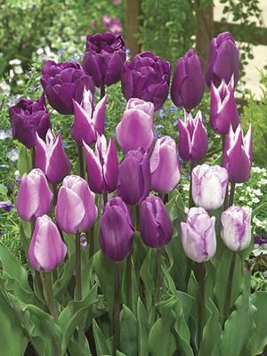 Inspiration Purple Sensation Tulip Blend 18 Bulbs - Extended Bloom Period