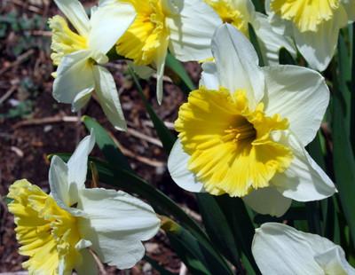 Ice Follies Daffodil 5 Bulbs - 14/16 cm Bulbs