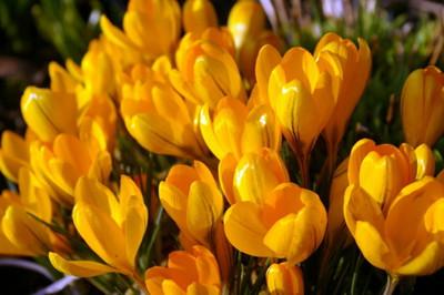 Golden Yellow Giant Crocus - 15 Bulbs - 8/9 cm Bulbs