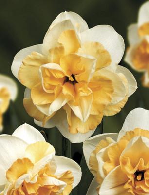 Golden Pearl Narcissus/Daffodil 5 Bulbs - 14/16 cm Bulbs