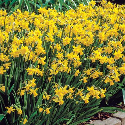 Tete a Tete Narcissus/Daffodil 10 Bulbs - 12/14 cm Bulbs