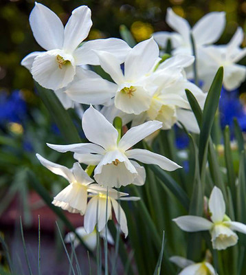 Thalia Daffodil 10 Bulbs - Pure White - 12/14 cm Bulbs