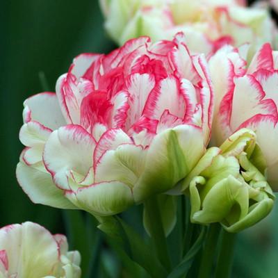 Cartouche Double Early Peony Flowered Tulip 8 Bulbs - 12/+cm Bulbs