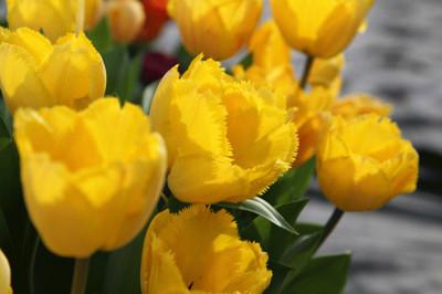 Crystal Star Fringed Tulip 8 Bulbs - Brilliant Yellow - 12/+ cm Bulbs