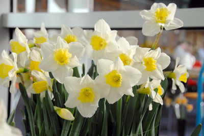 Central Station Large Cupped Daffodil - 5 Bulbs - 14/16 cm Bulbs - NEW