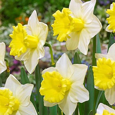 Cornish King Trumpet Daffodil 5 Bulbs 14/16 cm - NEW