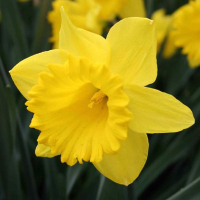 Dutch Master Daffodil 5 Bulbs - 14/16 cm Bulbs